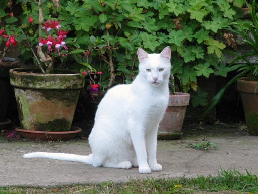 Beautiful white cat outside - flowers in background